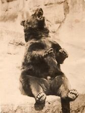 USA? Brown Bear ? Unidentified Zoo Old Photo 1930