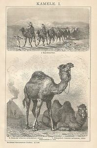 B0215 Camels - Xylograph Period - 1902 Vintage Engraving
