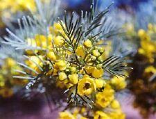 50 Yellow Feathery Cassia Green Senna Artimoides Flower Seeds + Gift & Comb S/H