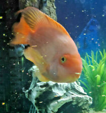"6"" Parrot Fish Cichlid Tropical Freshwater Fish"
