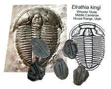 Cambrian Elrathia kingi trilobite fossil Wheeler Shale Utah matrix free specimen