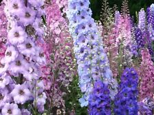 150 graines PIED D'ALOUETTE MIX(Delphinium Ajacis)G392 ROCKET LARKSPUR SEEDS MIX