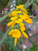 Der schnell wachsende Schmetterlingsstrauch hat bezaubernde gelbe Blüten.