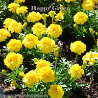 FRENCH MARIGOLD - PETITE YELLOW - 350 seeds - Tagetes Patula nana ANNUAL FLOWER