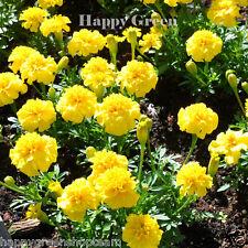 FRENCH MARIGOLD - PETITE YELLOW - 350 seeds - Tagetes Patula nana ANNUAL FLOWER