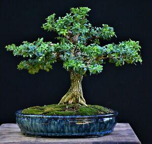 Dwarf Japanese Boxwood Bonsai - Buxus microphylla var japonica 'Morris Midget'
