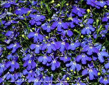 600 Lobelia Midnight Blue Seeds ~23mg ~ Annual Medicinal Herb Flower ~ nonGMO