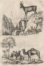 Chameaux (Camels). Chamois. Chamaerops (Dwarf fan palm) 1834 old antique print