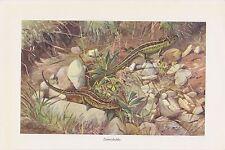 Zauneidechse (Lacerta agilis) Eidechse Eidechsen Lurche  Farbdruck 1912