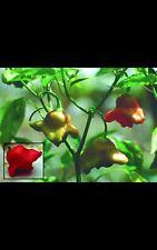 Bishpos  Chillis -   20 Seeds