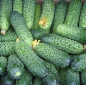 Cucumber Merengue F1 Seeds Netherlands 10 seeds or 50 seeds or 100 seeds