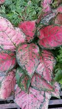 AGLAONEMA PINK VALENTINE (ROOTED PLANT)