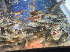 Wild Neocaridina Shrimps, 10x (+2 more in case of Doa)