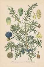 Wacholder Juniperus communis THOME Lithographie von 1886 common juniper