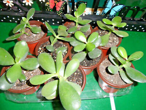 """lot of 2 Jade Organic Rooted Live Plants Crassula 4""""+ Easy to Grow plants"""