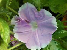 Sun Smile Pink Dwarf Morning Glory Seed