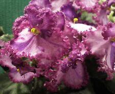 African Violet Leaves ~ Eva ~ Fantastic Color!