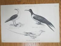 Antique Engraving Print Bird Picture Blackbacked Gull Great Frigate Bird Old