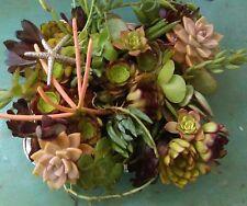 Rare Succulents 45 echeveria, euphoriba, aeonium huge assorted cuttings