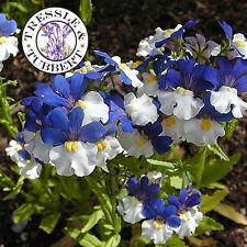 Rare Nemesia Kings Mantle Annual Flower 50 seeds UK SELLER