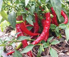 Hot Joker Chilli Pepper - A Delicious Medium Hot Chilli - 10 Seeds