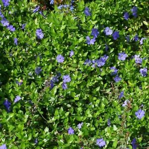 Vinca minor immergrüner Bodendecker winterhart 5-7 Triebe pro Topf violett blau