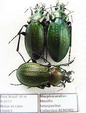 Carabus morphocarabus monilis interpositus (pair & male A2) from FRANCE
