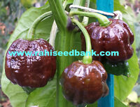 Trinidad Moruga Scorpion Chocolate - World's Hottest & Rarest Chocolate Chilli