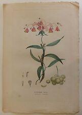 """Antilles Flore """"Alstroemeria Edulis"""" De Tussac gravure en couleurs 1808"""