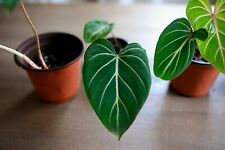 Philodendron Gloriosum Small size rare aroid Fed Ex 2day Air