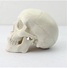 Human Mini Medical Anatomical Head Bone Skull Bone Model US Stock New Sale