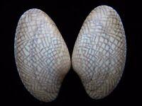 Sea Shells Paphia textile 62mm ID#3716B
