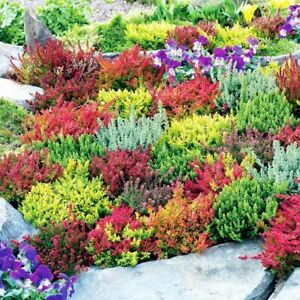6 X MIXED HEATHERS CALLUNA & ERICA VARIETIES COLOURFUL FLOWERING PLANTS
