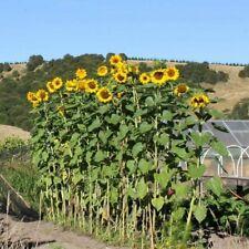 "100+MAMMOTH RUSSIAN SUNFLOWER Seed Organic HUGE 8-12' Plant GIANT 15"" Flower"