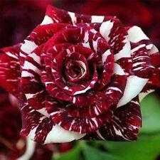 30PCS Rare Dragon Rose Flower Seeds Beautiful Courtyard Perennial Plants Seeds