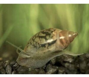20 Live Pond Cleaner/Feeder Snails (Bladder/Tadpole) Great Puffer or turtle Food