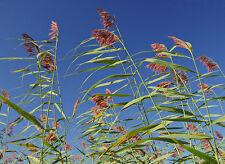 50 Samen Schilf, Schilfrohr (Phragmites australis), wasserreinigend, Teich, Ufer