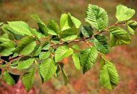 Ulmus minor Pianta in alveolo forestale Olmo campestre