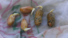 Peanut Seeds - JUMBO VIRGINIA - Delicious, High Yielding - Gmo Free - 20 Seeds
