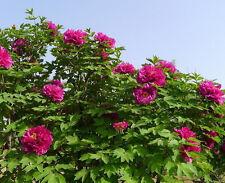 Tree Peony 5 seeds Paeonia suffruticosa Ornamental Shrub Rose Flower CombSH M74