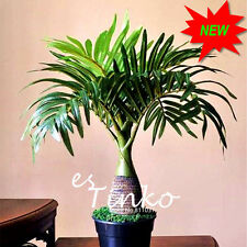 50pcs Palm Tree Seeds Garden Ornament Evergreen Trachycarpus Fortunei Bonsai