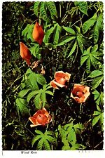 Hawaii Postcard Wood Rose Lake Baba Posted 1977 Ceylon Morning Glory