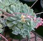 20 MIXED SUCCULENTS Good Sized, Quality Plant Cuttings