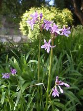 garlic, Society Garlic, perennial flower, Edible, 15 seeds! GroCo