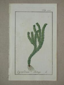 Lycopodium Selago - Icones Plantarum Zorn - coloured engraving plant botany 1790