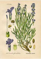 Lavender Botanical Drawing, 1871 Lavender Illustration, Botanical Print