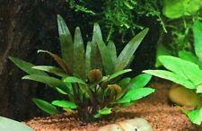 Cryptocoryne beckettii Petchii Live Aquarium Plants Tropical Aquascaping Tank EU