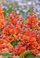 25 Bright Orange Hollyhock Seeds Perennial Giant Flower Garden Seed Flowers 636