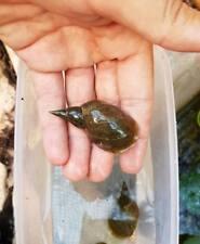 Lumaca lumache acquario acqua dolce Lymnaea Stagnalis pulitore stagno laghetto