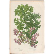 Anne Pratt antique 1860 botanical print, Pl 190 Spurge, Flowering Plants